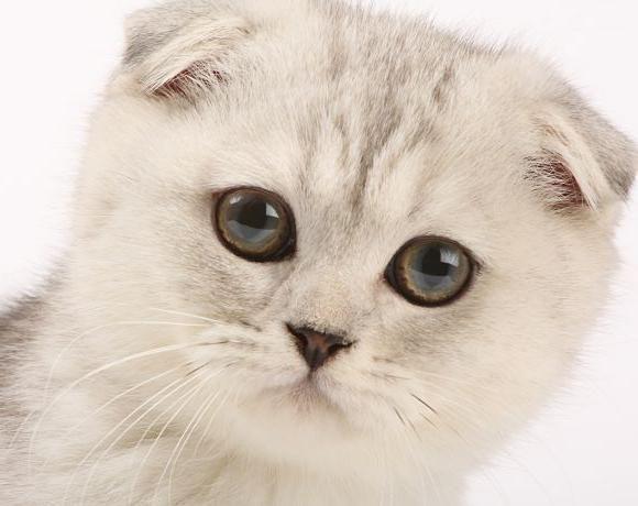 Шотландская вислоухая кошка отзывы