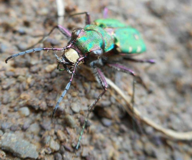Tiger beetle. Knockadoon coast.  Co. Cork