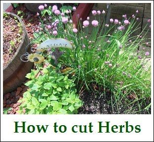 How to cut herbs - for basil don't pluck leaves off, instead trim stem. Leave two sets of leaves on stem (leaves grow in pairs across from each other). Cut immediately above the second set of leaves from the ground. Plant will then grow new branches from this cut.