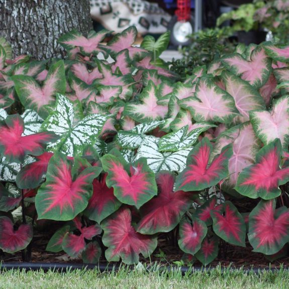 Caladium Blend   Large, Heart Shaped Leaves In A Mix Of Green, Pink.  Caladium GardenFerns GardenShade GardenGarden BulbsPink ...