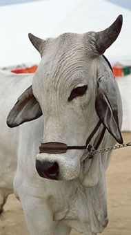 Brahman Cattle.  Better for farms in warmer climates (southern states). Can be used for beef, but I'd rather use this guy for dairy products. He is waaaaay too cute to eat :).