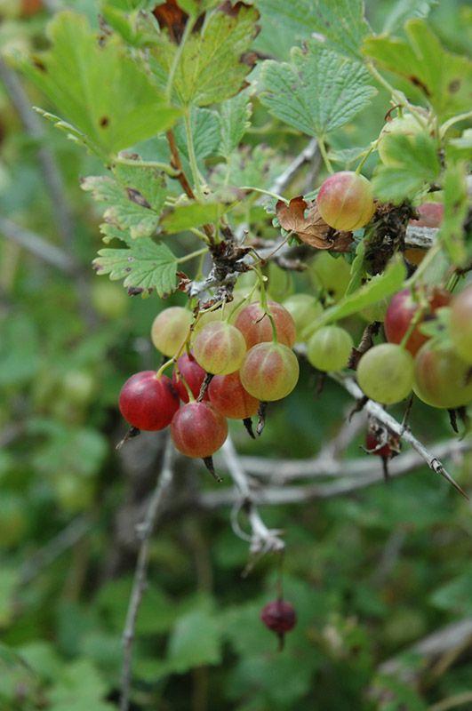 recipe: american gooseberry mildew treatment [34]