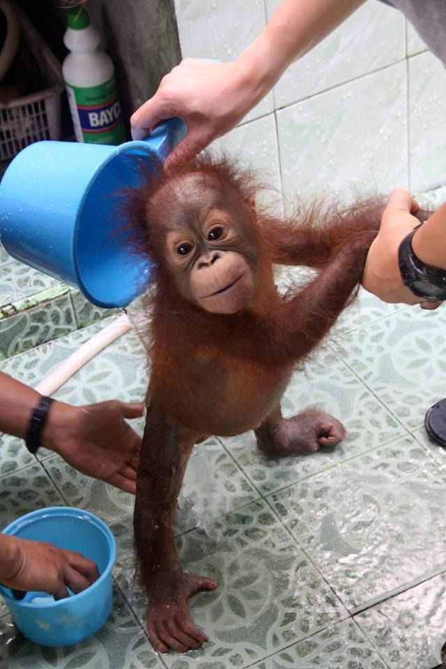 2189 best Orangutan images on Pinterest