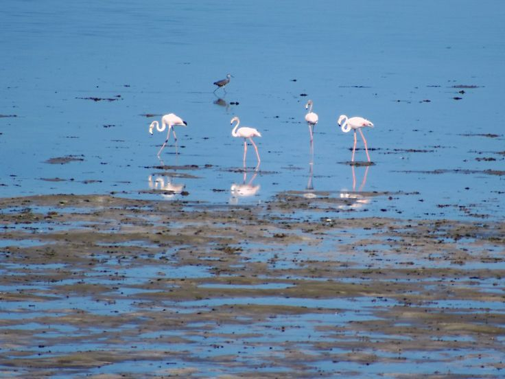 Flamingos can be seen on Kivukoni Beach off Ocean Road in Dar es Salaam, Tanzania.