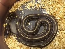 Beautiful captive bred California King Snakes for sale at super low prices. Check out our snakes that come with low prices, overnight shipping, and live arrival guarantee.