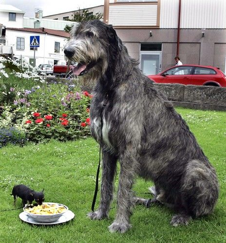 Sweden's largest and smallest dogs, Grim the Irish Wolfhound and Rut the Chihuahua, respectively, share a bowl in Lysekil, Sweden in July, 2007.
