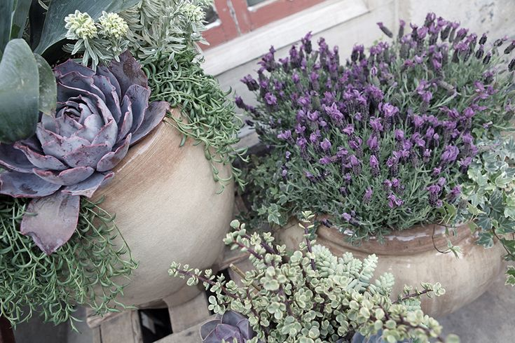 Lavender and succulent container gardens rolling greens for Garden design ideas lavender