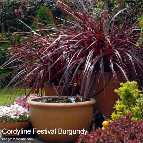 Cordyline: How To Grow and Care For A Cordyline Plant