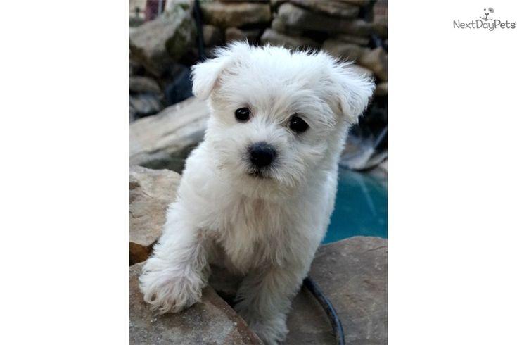 Adorable westie poos westiepoo westie puppies puppies