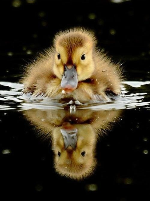 .Treading water!.....cute!...    (Duckling.)