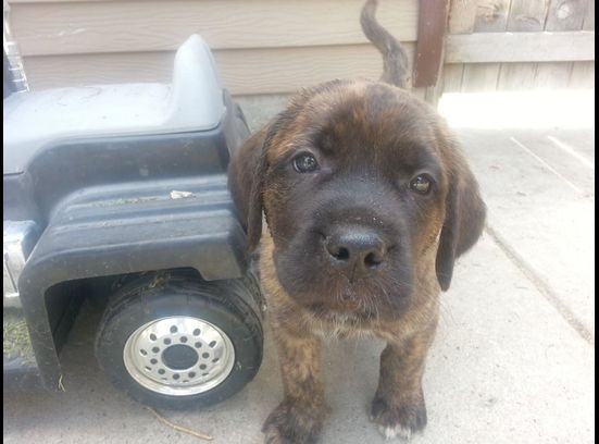 1000+ images about St. Bermastiff on Pinterest | English ...