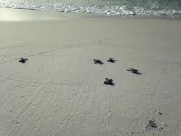 Turtle nesting site. Kudat, Malaysia