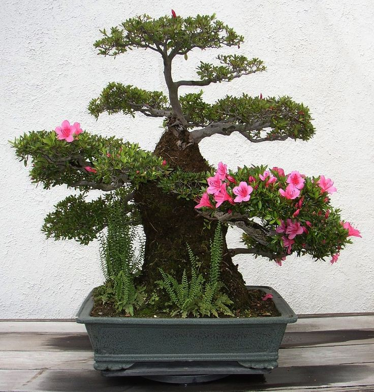 """Um bonsai que significa """"árvore em bandeja"""", precisa ter outros atributos entretanto além de simplesmente estar num vaso raso. A ..."""
