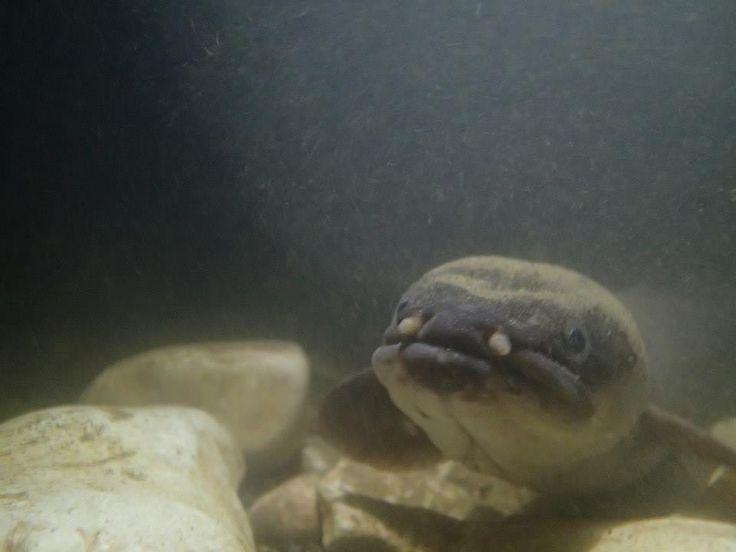 Eel in the glow worm caves, Waitomo.