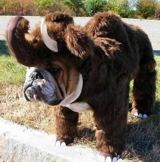 English Bulldog - Halloween costume?