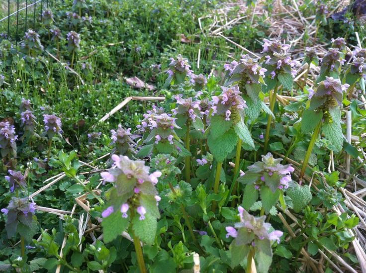 Wild Edibles: Purple Dead Nettle (Lamium purpureum) Disclaimer: Only attempt to harvest and eat wild plants that you can identify with 100% accuracy.