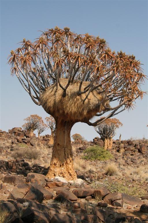 Quiver tree housing the huge nest of the sociable weaver birds.