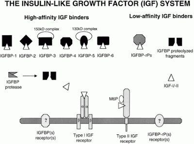 Identificados pela primeira vez em 1957, foram originalmente chamados fatores de sulfatação, a atividade semelhante à insulina não suprimível, e a atividade de estimulação de multiplicação. Eles foram renomeados somatomedinas e, posteriormente, IGFs. Os IGFs são onipresentes expressos e são mitógenos importantes que afetam o crescimento celular e o metabolismo. Os IGFs produzidos localmente exercem ação parácrina, bem como autócrina, com efeitos sobre a proliferação de células.