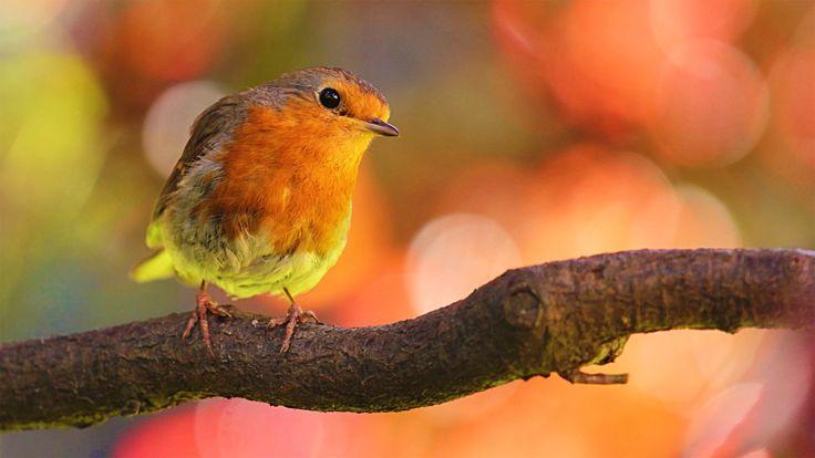 4 HORAS de Sonidos Relajantes de Pájaros Cantando: el Canto de las Aves,...
