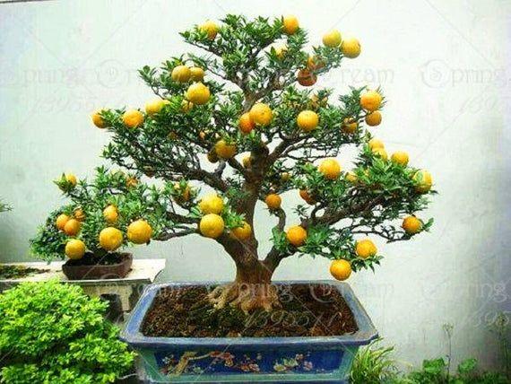 HOT! 20PCS Bonsai Orange Tree Seeds Organic Fruit Tree Seeds For flower pot planters very big and delicious  – Bonsai pot