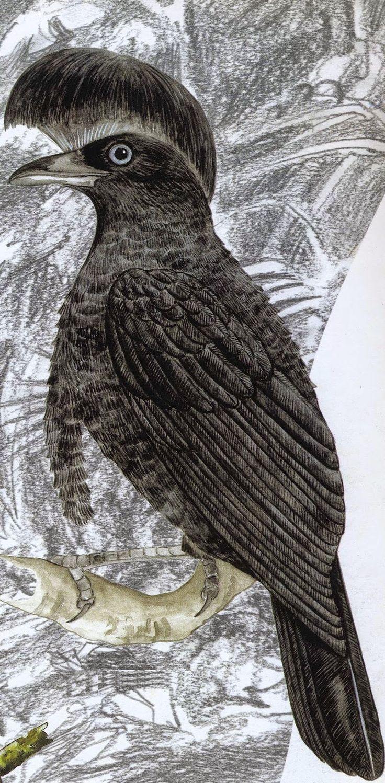 Olímpia Reis Resque: Lendas e curiosidades: Pavão-do-mato, o pássaro de... Victor W. von Hagen (1908-1985) relata curiosidades sobre o Pavão-do-mato e seu curioso chapéu de sol. Desenho de Antônio Martins. Brasil: 500 pássaros. 2000. No Blog!