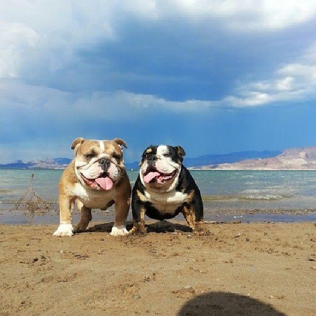 Beach bulldogs. AC