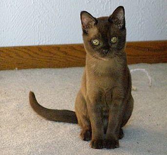 Burmese kittens for sale yorkshire