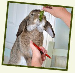 How To Clicker Train Your Rabbit | Behaviour | Rabbit Awareness Week | Because Rabbits Get A RAW Deal