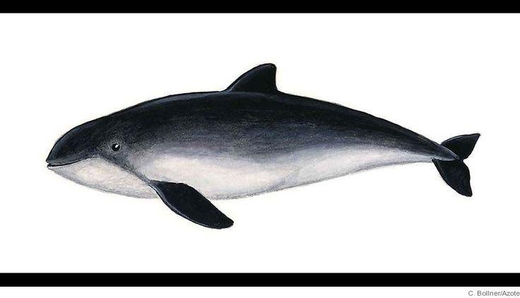 Havet.nu - Marina däggdjur. Tumlare, 1,5-2,0 m, liten val i Svenska vatten