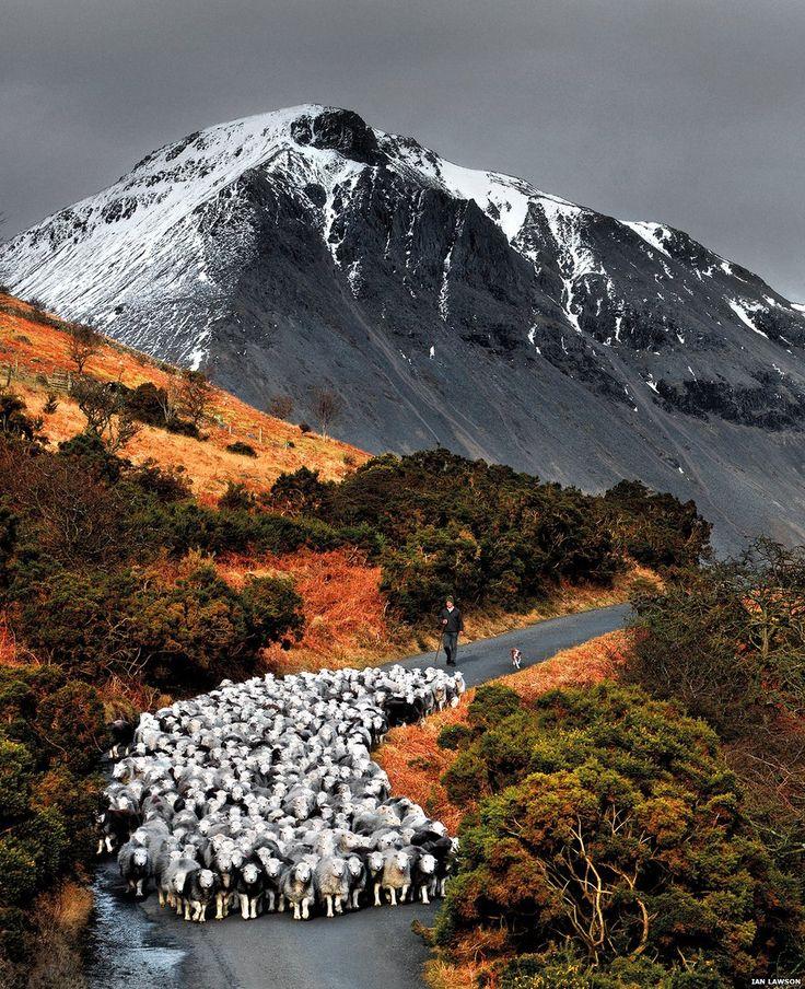 Herdwick sheep on fell - orange hues. - by photographer Ian Lawson, Herdwick: Via BBC
