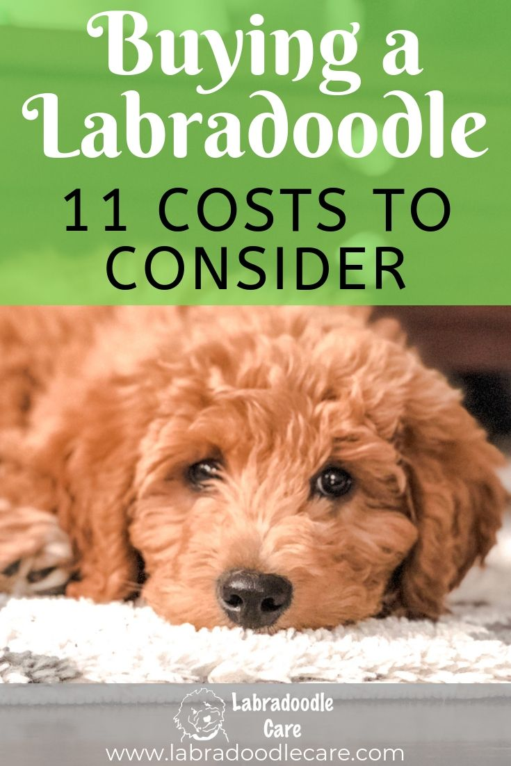 Before You Buy A Labradoodle 11 Costs To Consider Labradoodle Australian Labradoodle Puppies Labradoodle Sizes