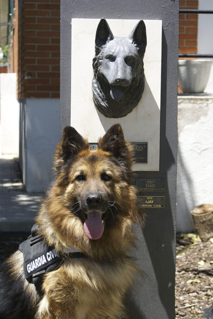 ¿Sabéis quién es? Se llama AJAX y es un perro de la Guardia Civil que ha recibido un premio internacional. Y es que en en 2009, este precioso y valiente pastor alemán evitó un atentado al detectar una bomba que estaba lista para explotar en Mallorca. COMPARTE la foto, Ajax se lo merece :)