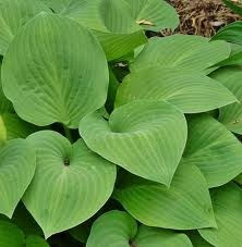 Hosta. These are a clump forming perennial that is dormant during the winter. Generally grown for its striking foliage - large, bold, heart shaped leaves in a range of greens, including variegated varieties. There are currently some green varieties in other parts of the garden, and I would suggest that these same varieties are used here. they can be cultivated by dividing as the first buds show.