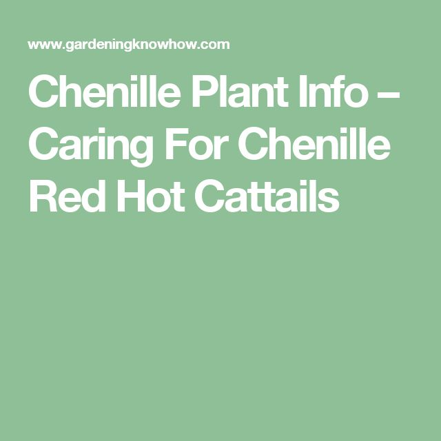 Chenille Plant Info – Caring For Chenille Red Hot Cattails