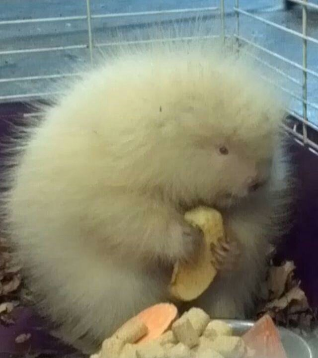 Bébé porc épic albinos