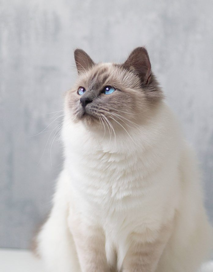 Pin On Cat Breed