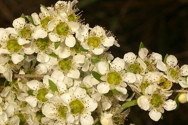 wild may  Leptospermum polygalifolium hardy, fine-leaved shrub; open arching habit; useful in mass plantings; small white flowers in summer