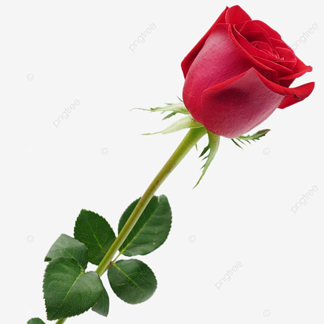 Gambar Mawar Cinta Romantis Hari Valentine Karangan Bunga Mawar Merah Png Transparan Dan Clipart Untuk Unduhan Gratis Romantis Gambar Mawar Pernikahan Romantis