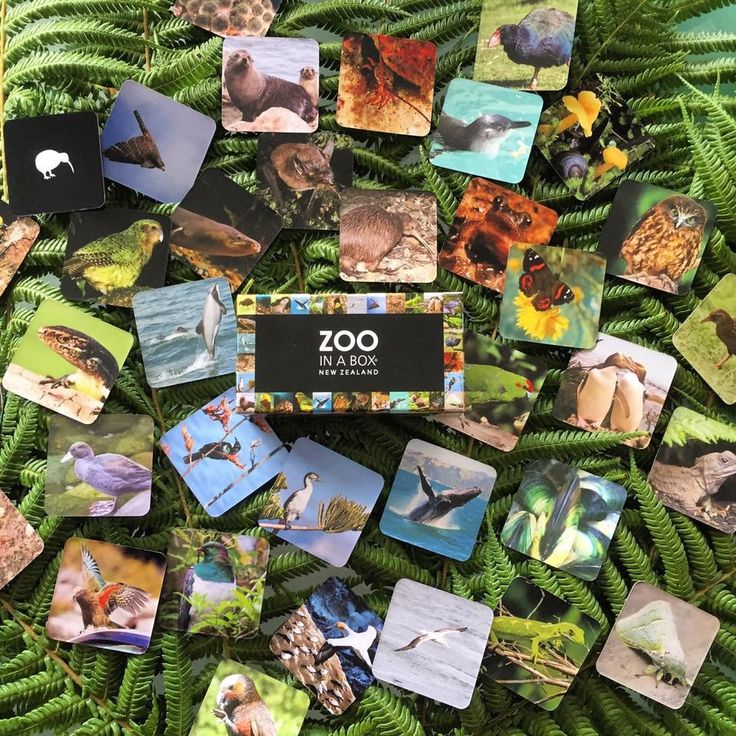 Are you wishing to #send a small #gift overseas? Or do you want to have a special #momento of your recent #NZ trip? We have just the perfect thing! Our latest #new addition, from NZ In A BOX, it's a memory game for everyone! Small, and easy to #ship, buy online #today http://koruenterprises.net/shop/zoo-in-a-box/ #zooinabox #memory #game #native #endemic #animals #korutrips