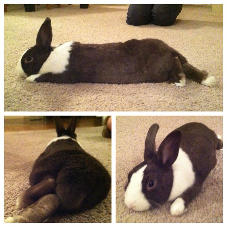 Omg I flipping LOVE Dutch Bunnies and how they lay! <3
