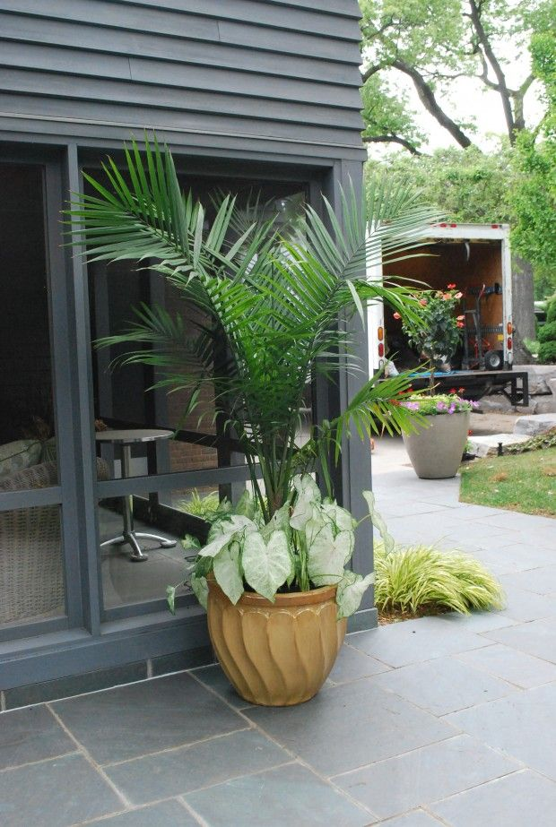 Backyard Paradise: 35 Best Palms In Containers Images On Pinterest