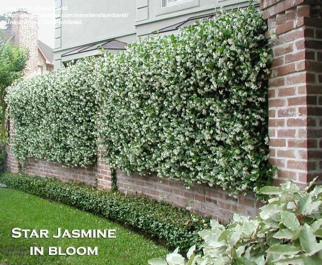 Fragrant jasmine panelling a wrought iron fence bordered by brick (and adding privacy)!. :)