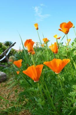 Welcome in my garden / Slowgarden : pavots de Californie
