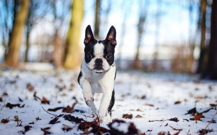free pictures french bulldog