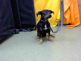 DEVORE, CA - EUTH LIST. Chili ID#A682444. 5 yr. old male Chihuahua. Rescue only. Arrived 09/22/17