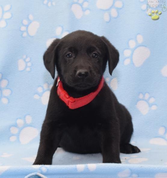○ Lab Beauty ○ #LabradorRetriever #Lab #Labrador #Retriever  #BuckeyePuppies #Puppies #Pups #Pup #Puppy #Funloving #Sweet #PuppyLove #Cute #Cuddly #ForTheLoveOfADog #MansBestFriend #dog #puppy #pets #animals #Dog #Pet #Pets #ChildrenFriendly #puppyandChildren #ChildandPuppy www.BuckeyePuppies.com