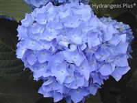 Macrophylla Niko Blue Yes, you can easily keep them to 3-4 feet. Just remember to prune them at the end of their blooming cycle, not in the spring before they bloom, or they won't bloom that summer for you.