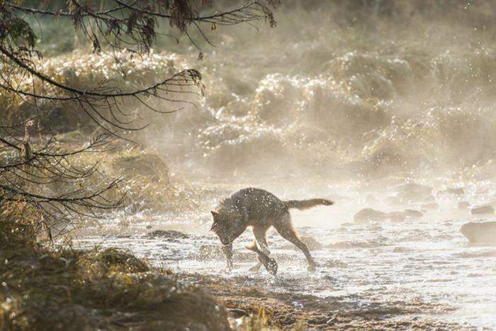 Фото: Редкие морские волки, которые живут возле океана и могут часами плавать (Фото)