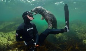 Young Grey seal (Halichoerus grypus) playing with snorkeller, Farne Islands,
