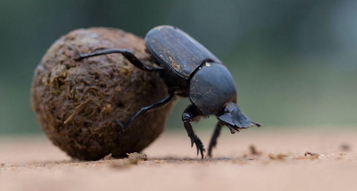 Dung beetles may rely on green and ultraviolet colors in the sky to help orient ... 2